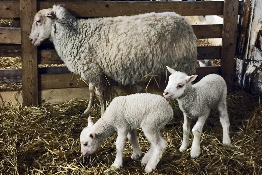 paasiainen_lampaat